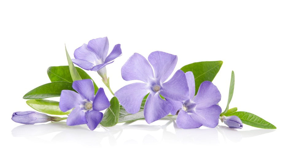 Efficacy of periwinkle in cancer prevention